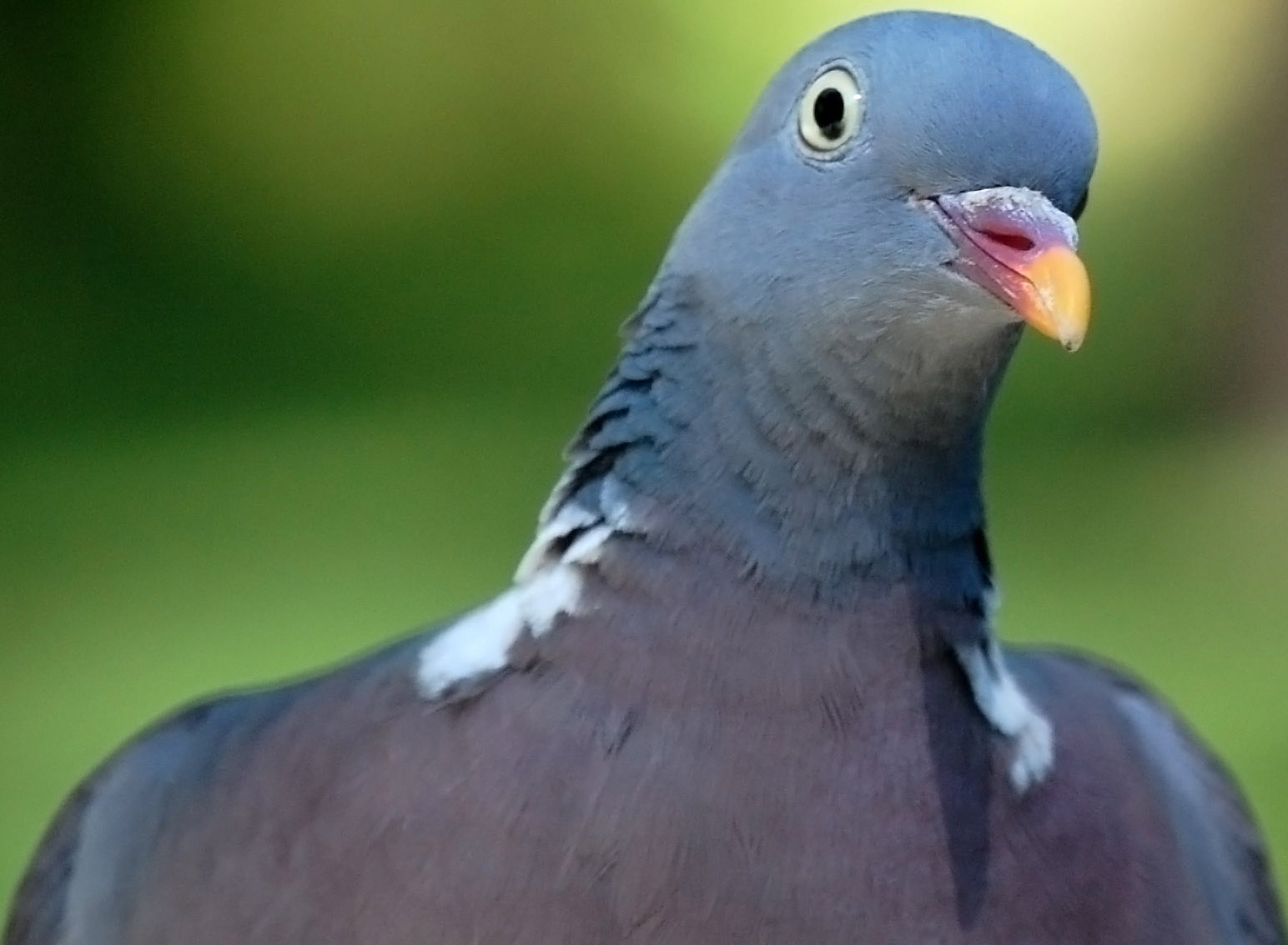 Tool - Page 5 Pigeon